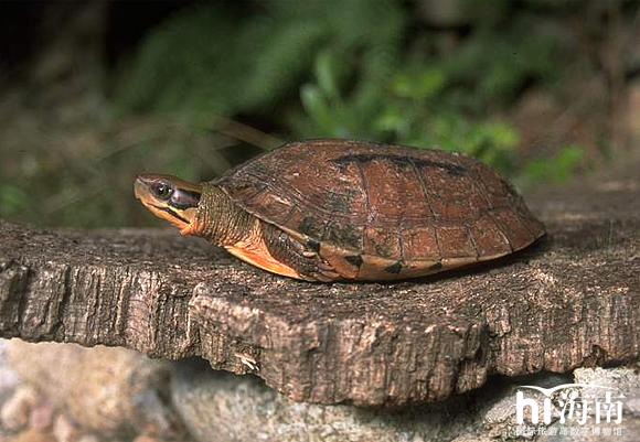 野生的三线闭壳龟,属国家二类野生保护动物